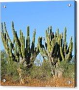 Desert Cacti In Cabo Pulmo Mexico Acrylic Print