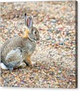 Desert Cottontail Acrylic Print