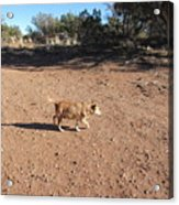 Desert Dog Acrylic Print