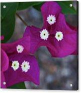 Desert Flower 2 Acrylic Print