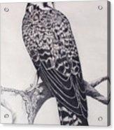 Desert Hawk II Acrylic Print