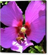 Desert Hibiscus With Honey Bee Acrylic Print