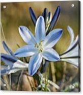 Desert Lily Acrylic Print