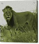 Desert Lions Acrylic Print