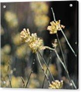 Desert Milkweed Acrylic Print