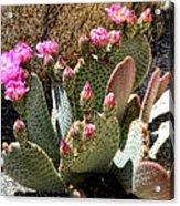 Desert Plants - Fuchsia Cactus Flowers Acrylic Print