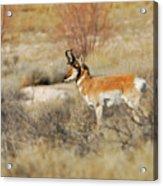 Desert Pronghorn Acrylic Print