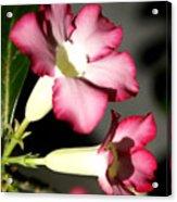 Desert Rose 7 Acrylic Print