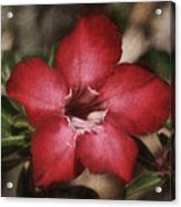 Desert Rose In Daytona Acrylic Print