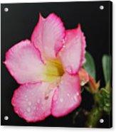 Desert Rose On Black Acrylic Print
