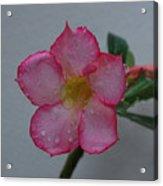 Desert Rose On White Acrylic Print