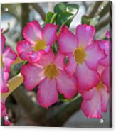 Desert Rose Or Chuanchom Dthb2105 Acrylic Print