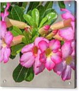 Desert Rose Or Chuanchom Dthb2106 Acrylic Print