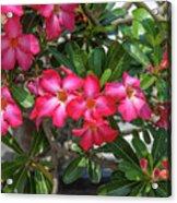 Desert Rose Or Chuanchom Dthb2107 Acrylic Print