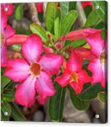 Desert Rose Or Chuanchom Dthb2108 Acrylic Print