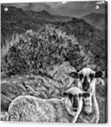 Desert Sheep Acrylic Print