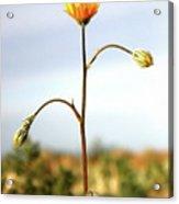 Desert Sun Flower Acrylic Print