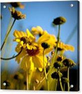 Desert Sunflower Variations Acrylic Print