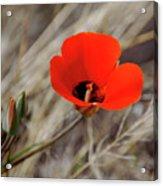 Desert Wildflower Acrylic Print