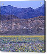 Desert Wildflowers, Death Valley Acrylic Print