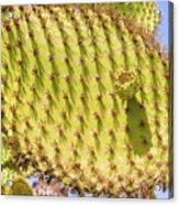 Detail Of Cactus In Galapagos Acrylic Print
