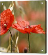 Detail Of The Corn Poppy Acrylic Print