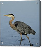Determination - Great Blue Heron Acrylic Print