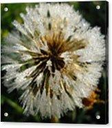 Dew Covered Dandelion Acrylic Print