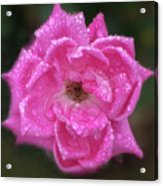 Dew Covered Rose Acrylic Print