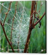 Dew Covered Spider Web Acrylic Print