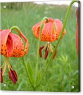 Dew Covered Tiger Lilies Acrylic Print