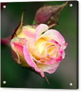 Dew Drop Rose Acrylic Print