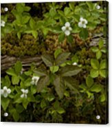 Dew Dropped Spring Bunchberries Acrylic Print