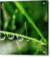 Dew Drops On Blade Of Grass Acrylic Print