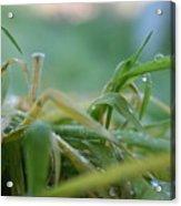 Dew Grass Acrylic Print