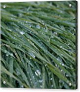 Dew Grass Two Acrylic Print