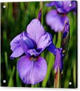 Dew Kissed Iris Acrylic Print