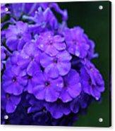 Dew Kissed Summer Phlox Acrylic Print