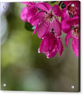Dew On Blossoms Acrylic Print