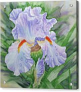 Dew On Light Blue Iris. Acrylic Print