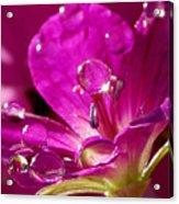 Dew On Pink Acrylic Print