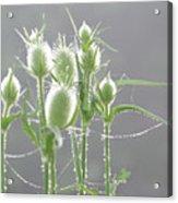 Dew On Thistles 3 Acrylic Print