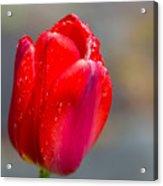 Dew On Tulip Acrylic Print