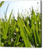 Dewdrops On New Wheat Acrylic Print