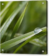 Dewy Drop On The Grass Acrylic Print
