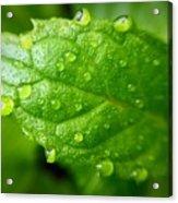 Dewy Mint Acrylic Print