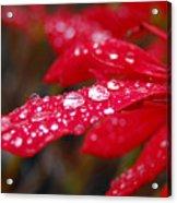 Dewy Petals Acrylic Print