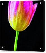Dewy Pink Yellow Tulip Acrylic Print