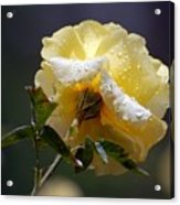Dewy Yellow Rose 1 Acrylic Print