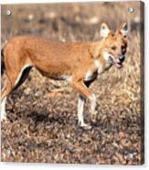 Dhole In The Wild Acrylic Print